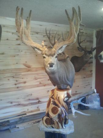 Mule deer pedestal mount pose