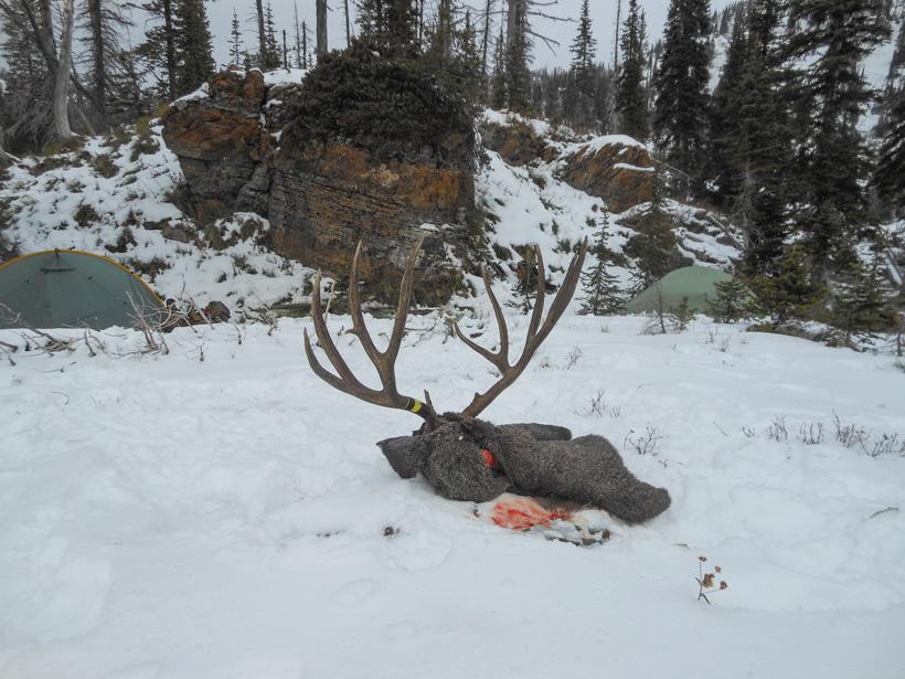 Mule Deer at Camp