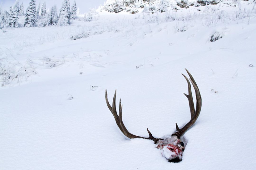 Mule deer rack in the snow