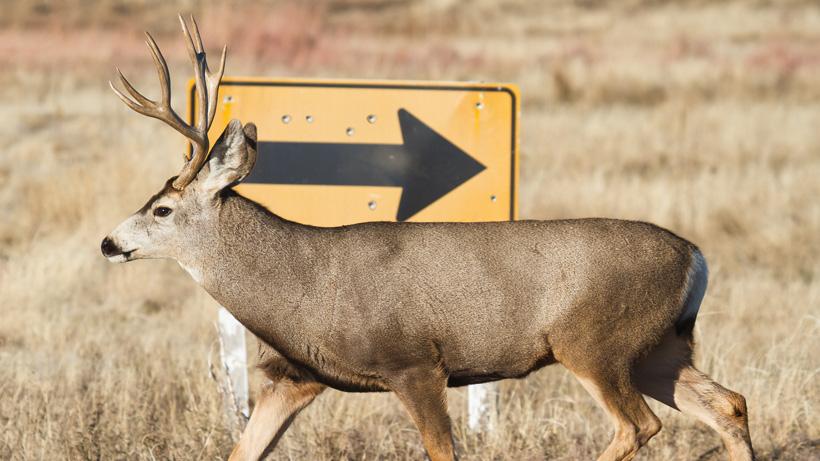 Mule deer roadkill study