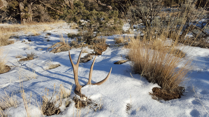Mule deer shed antler in snow
