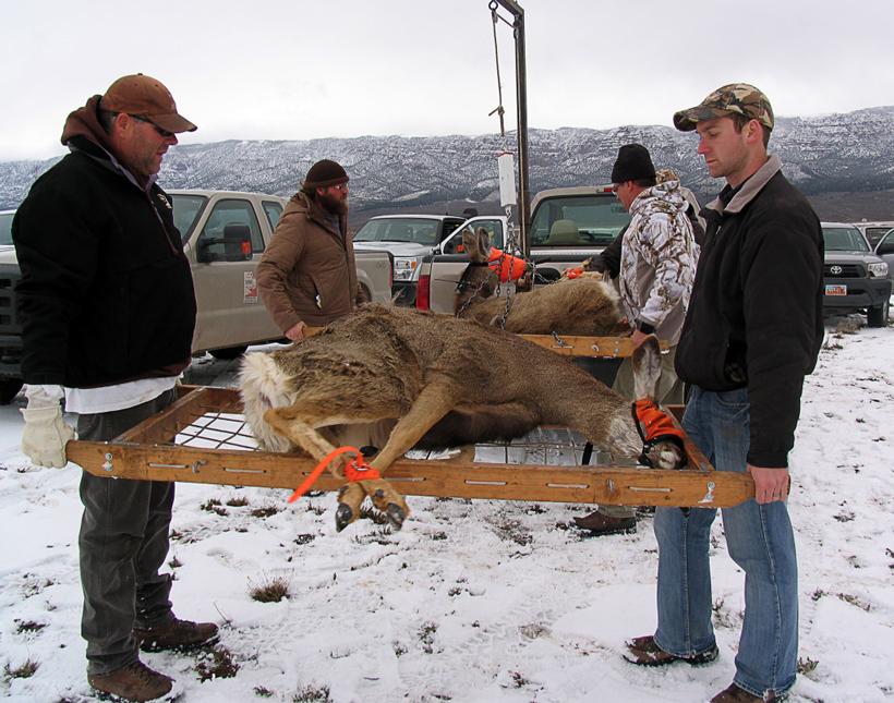 Mule deer survival study