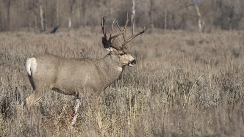 Mule deer walking through sagebrush