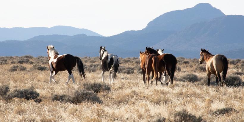 BLM begins emergency wild horse gather