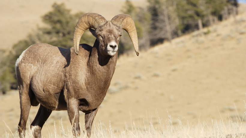 Nebraska Bighorn Sheep
