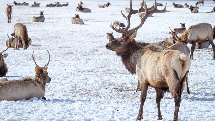 Fish & Parks Commission gives Nebraska rancher permission to kill 50 elk