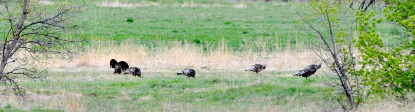Nebraska turkeys