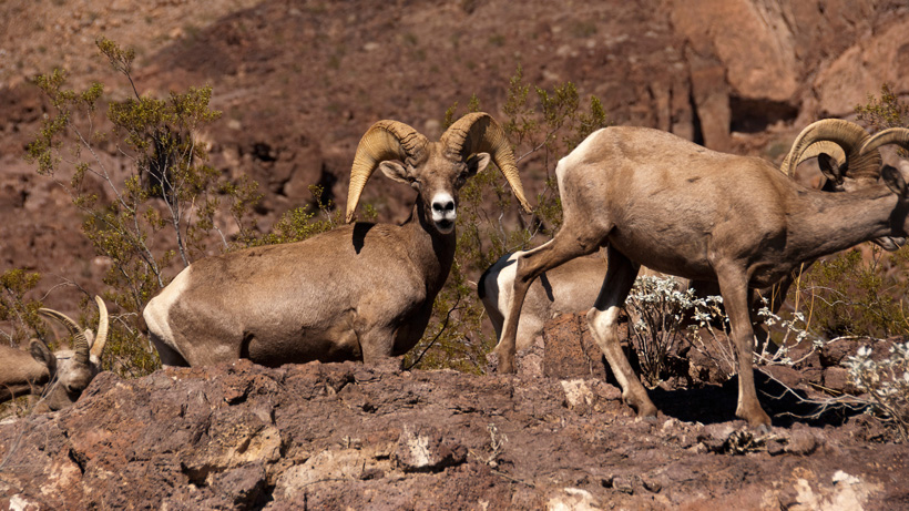 Nevada bighorn sheep
