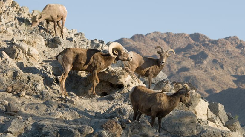 Bighorn sheep return to the Lake Range in Nevada