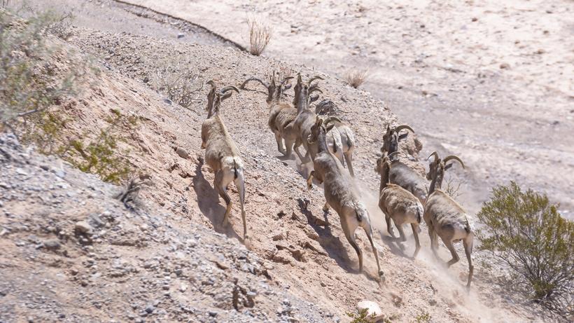 Nevada bighorn sheep