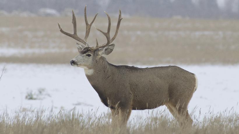 Utah man sentenced for poaching Nevada mule deer