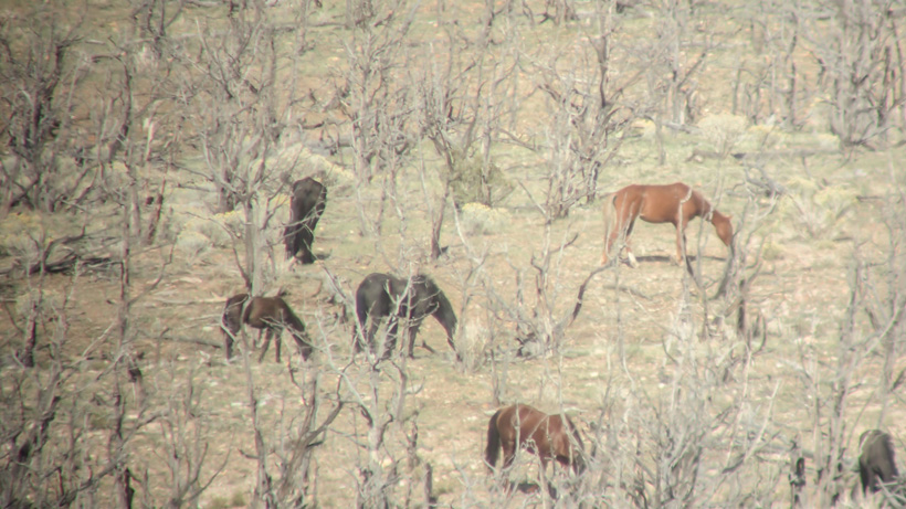 Nevada wild horses while hunting for mule deer
