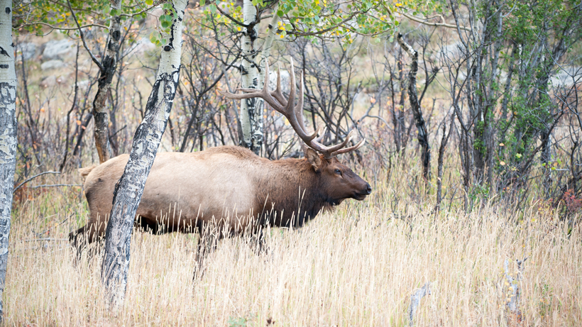 New 5 day wait period for capped elk hunts in Idaho for residents