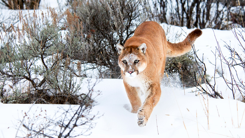 New mountain lion regulations in Utah approved