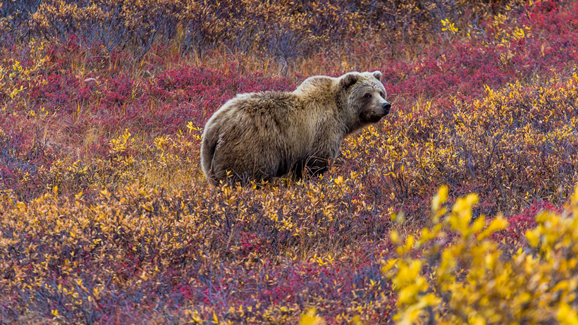Yellowstone region grizzly bear hunting
