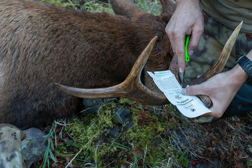 Nick Schmit punching his Washington muzzleloader elk tag