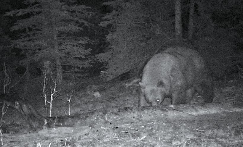 Night photo of Tank the giant black bear