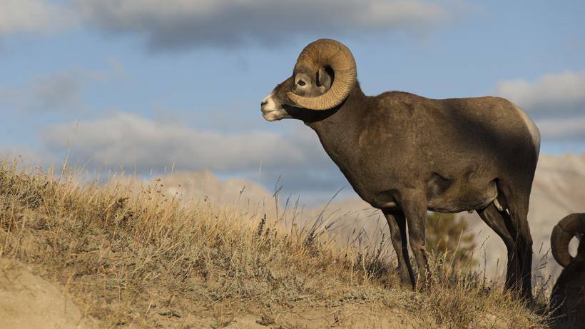 Bighorn sheep in western North Dakota thriving