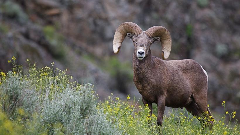 North Dakota offers 5 bighorn sheep licenses
