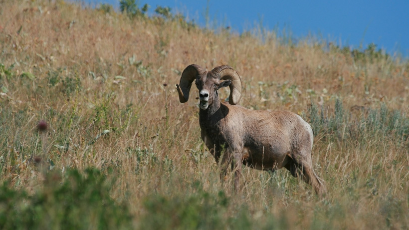 WGFD proposes change to bighorn sheep management