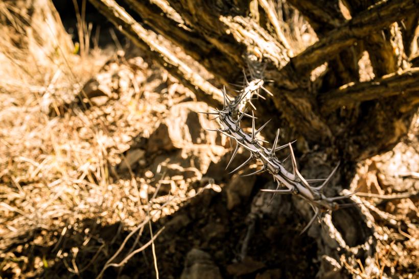Sharp ocotillo plant