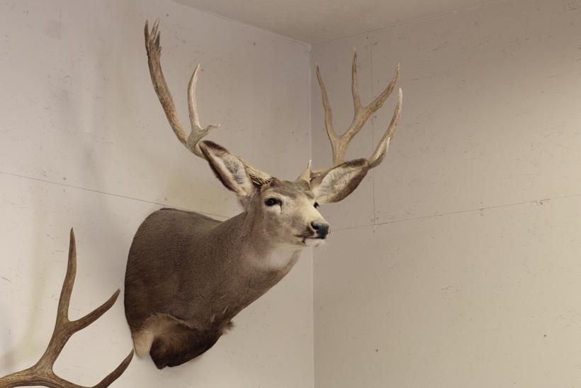 Old discolored mule deer mount