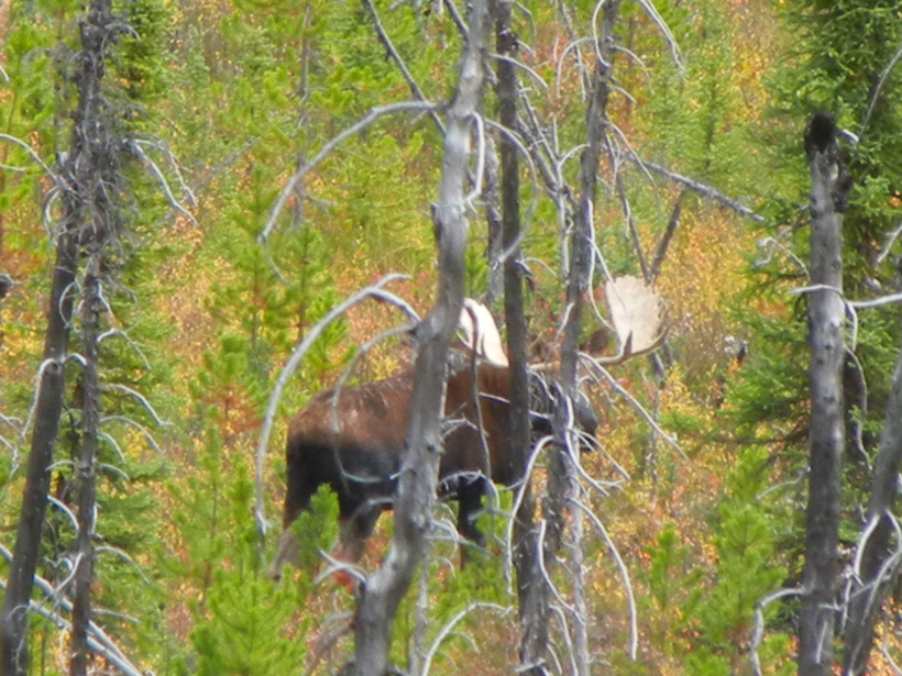 Old bull moose with rubbed antlers