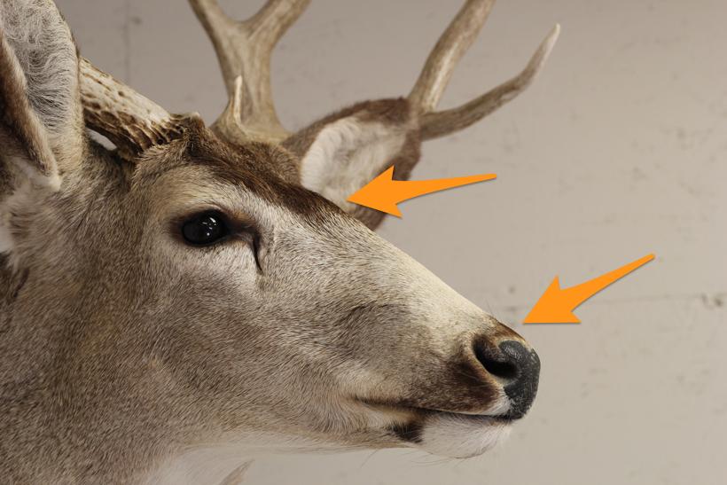 Old mule deer mount nose color restored