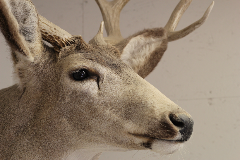 Old mule deer mount nose