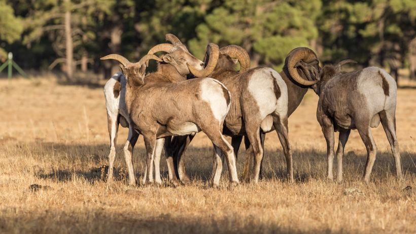 Biologists say future of Lookout Mountain herd uncertain