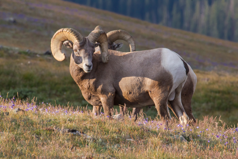 Oregon bighorn sheep