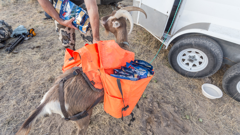 Pack goat hauling food and gear