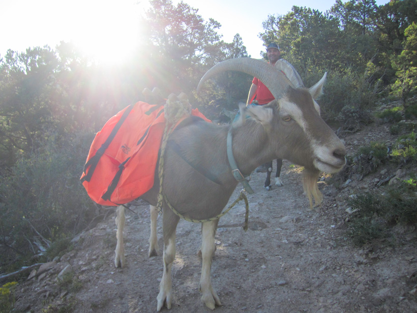 Pack goat training