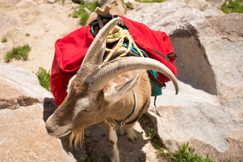 Vinny the pack goat