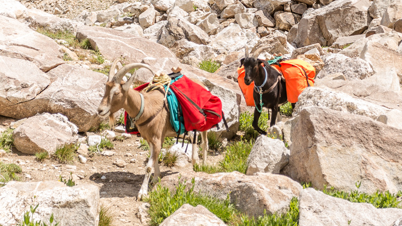 Pack goats in the backcountry