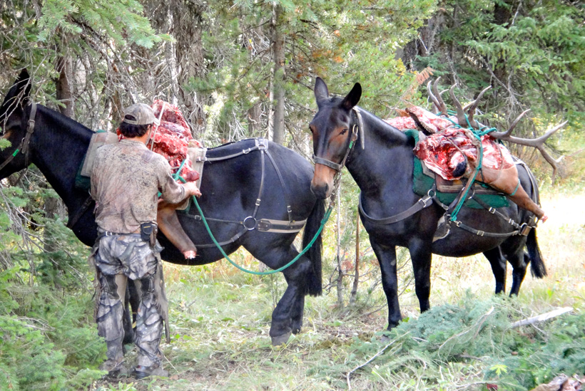 Packing out a bull elk with horses