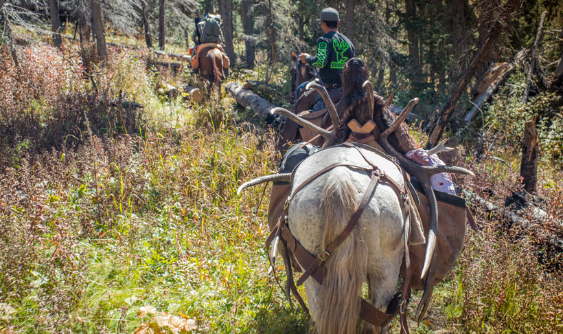 Packing out an elk with horses