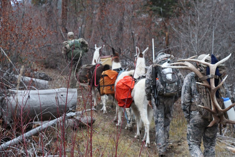Packing out antlers with llamas