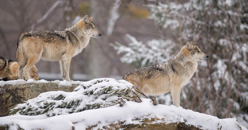 Spearheaded Mexican gray wolf recovery in Utah | goHUNT