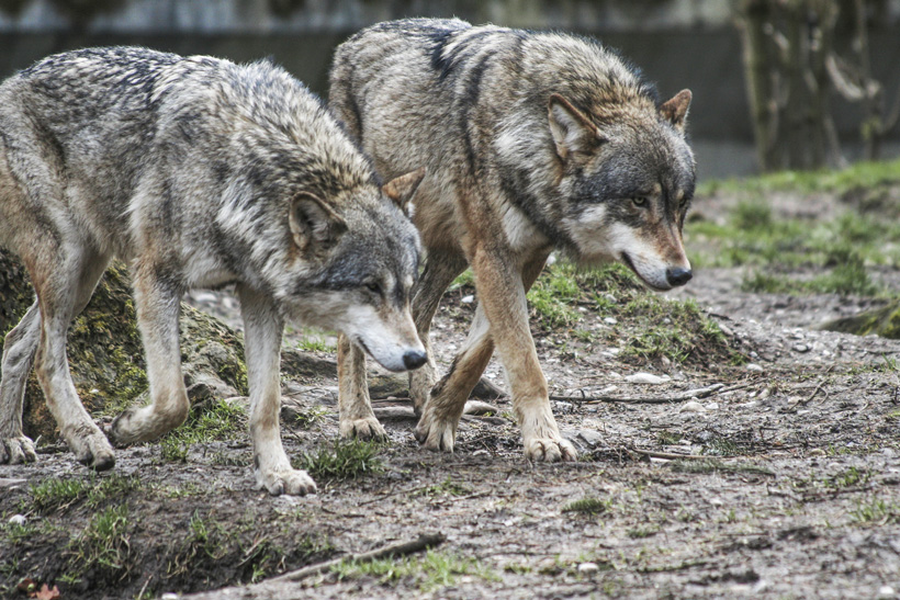Pair of Oregon wolves