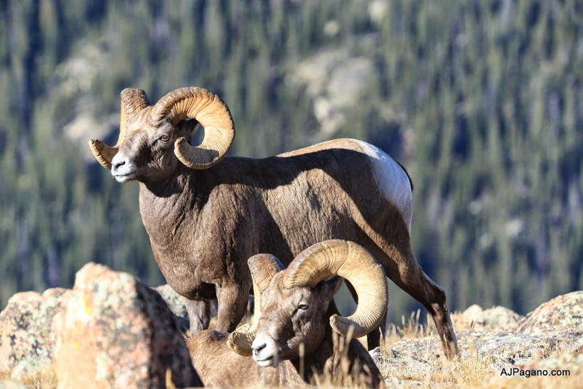 Pair of bighorn sheep rams