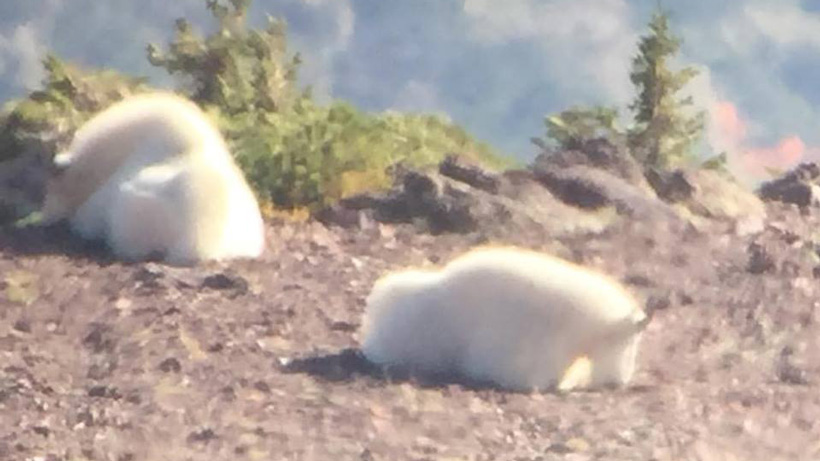 Pair of mountain goats scouted in Utah