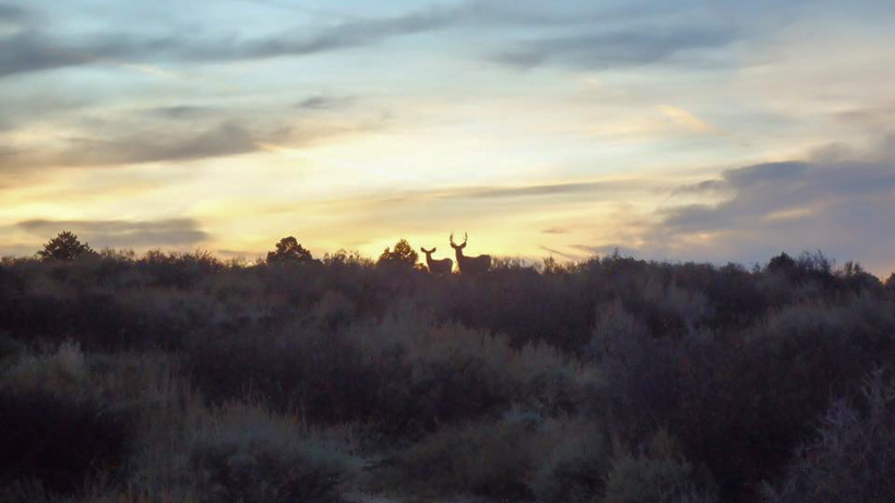 Pair of mule deer at sunset