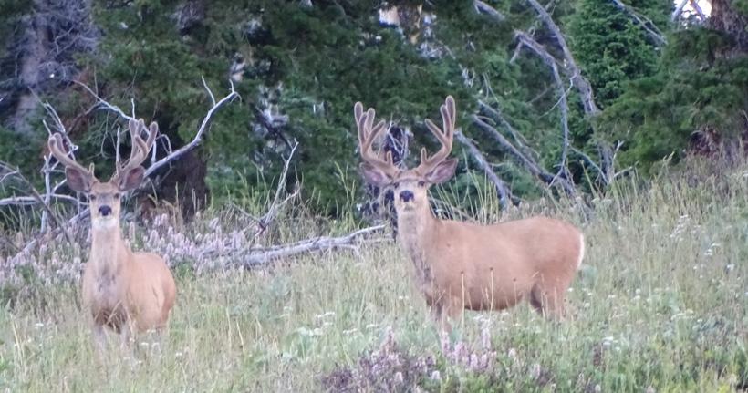 Pair of velvet mule deer from Wyoming