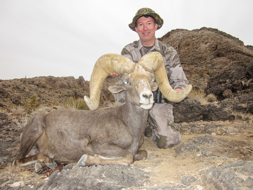 Front view of the massive Desert bighorn ram