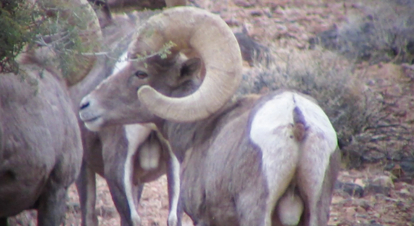 Side view of the large Desert bighorn ram