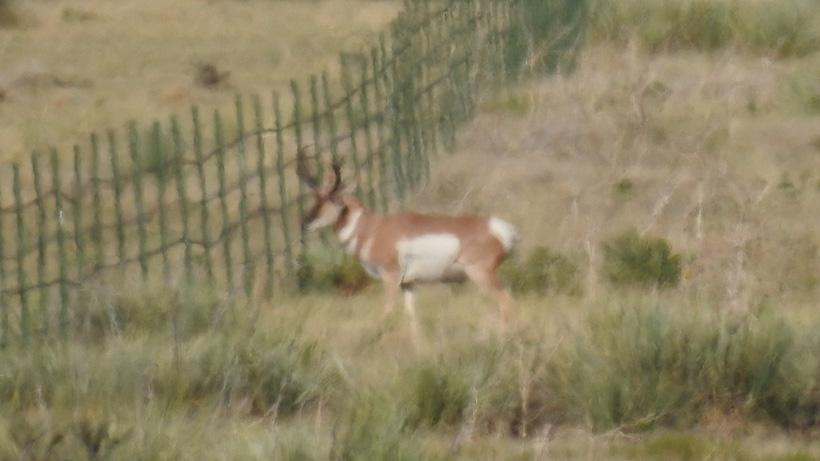 Photo of the antelope buck John Grellner took