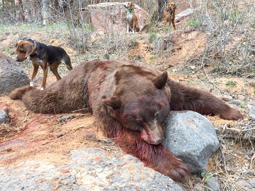 Pumpkin head Utah black bear
