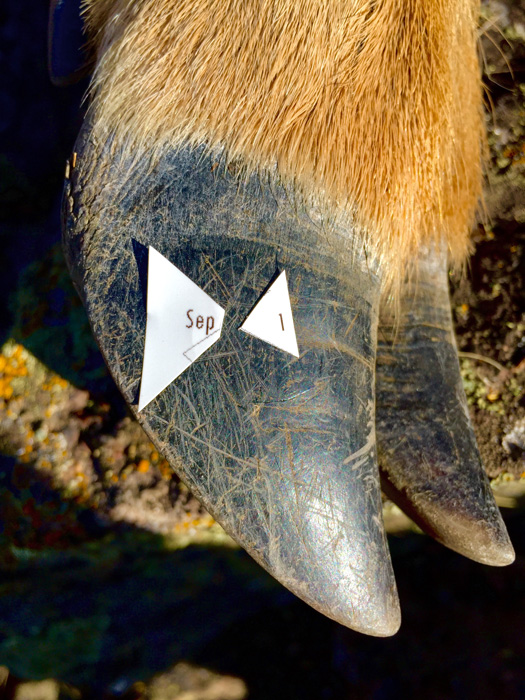 Punched tag on an Oregon archery mule deer buck