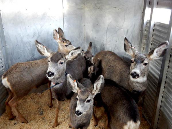 Radio collared deer in trailer